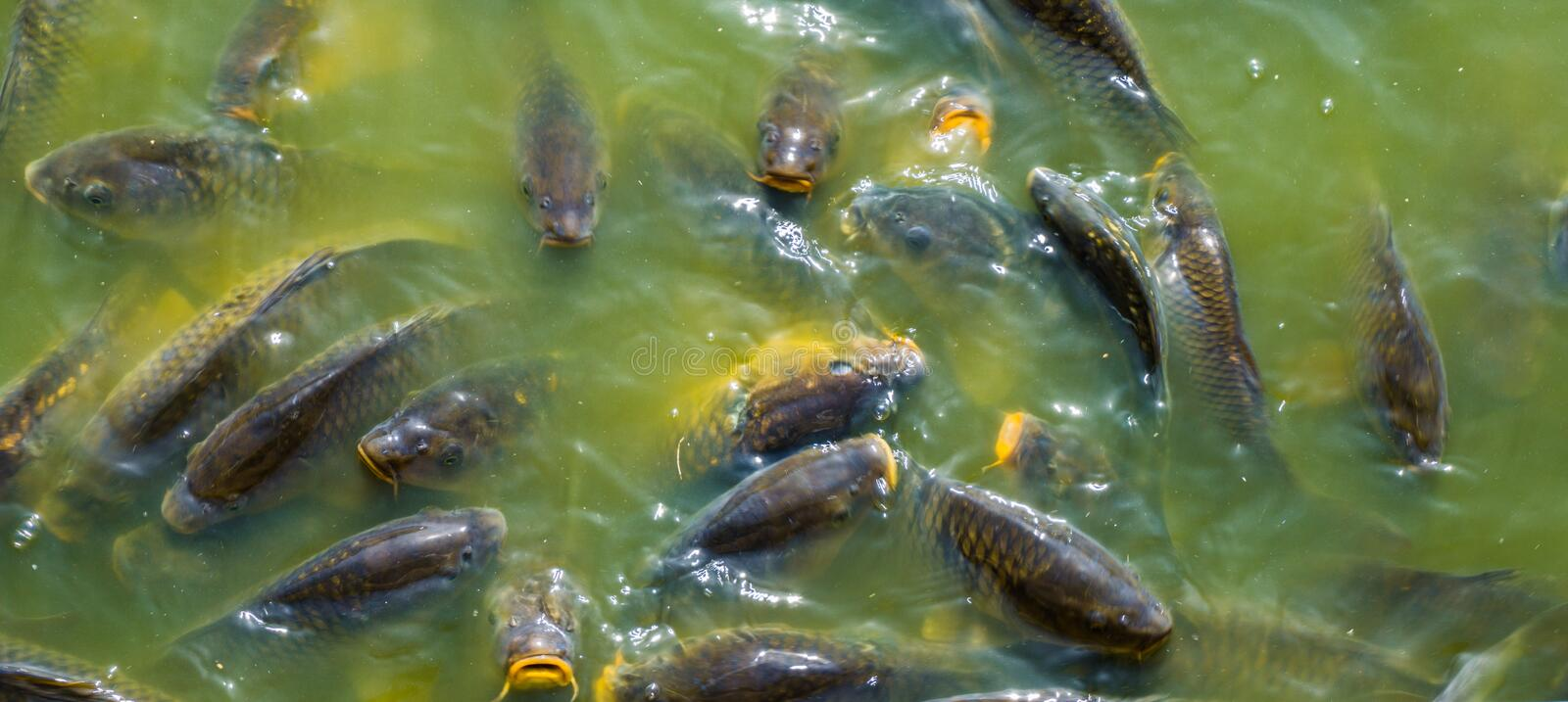 Group of big brown carps swimming in the water lake together royalty free stock photos