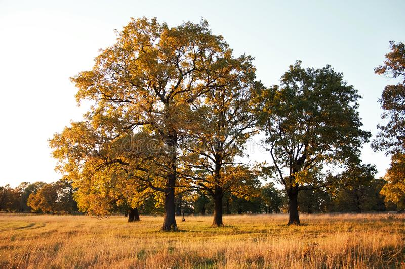 Group of Big old oaks in a field in autumn stock photo