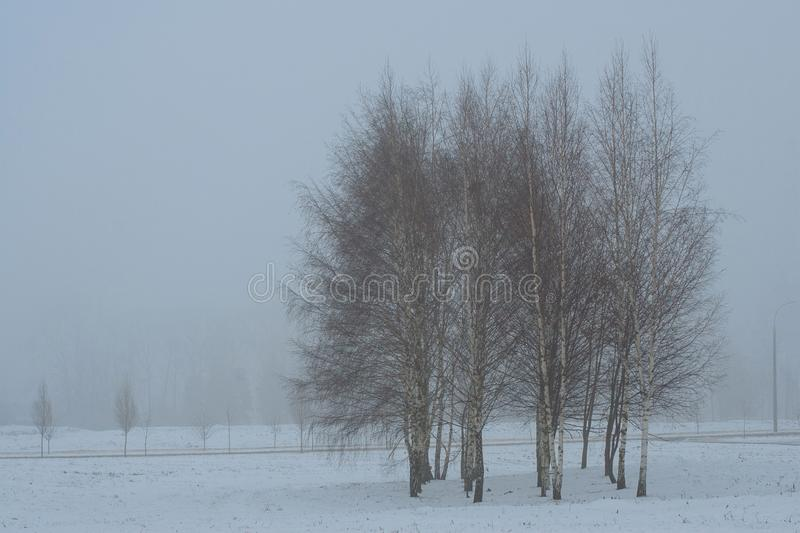 Group of birch trees in foggy winter morning royalty free stock image