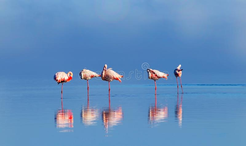 Group birds of pink african flamingos  walking around the lagoon and looking for food. Wild african birds. Group birds of pink african flamingos  walking around stock image