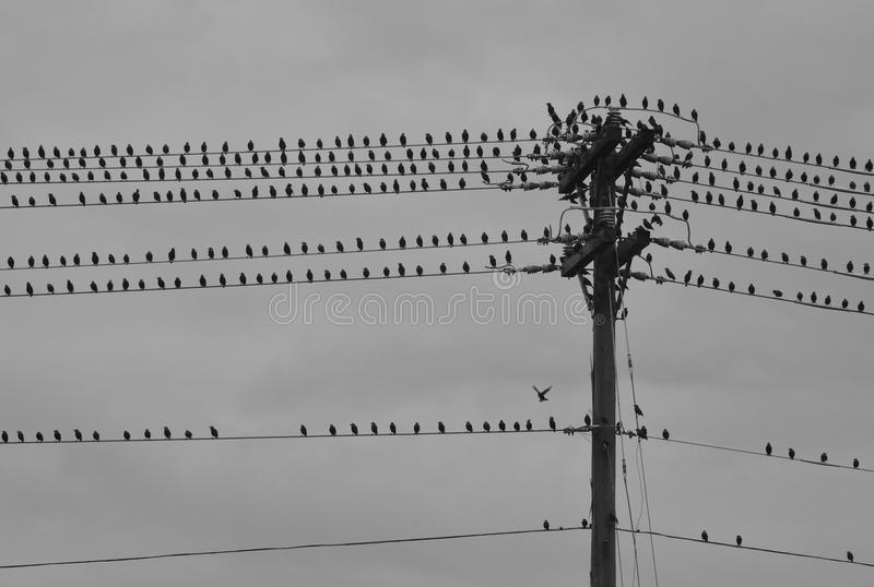 Group of Birds On Telephone Pole on Stormy Day. A flock of birds gathers on a string a power lines and telephone pole, cast against an overcast sky as a storm royalty free stock photography