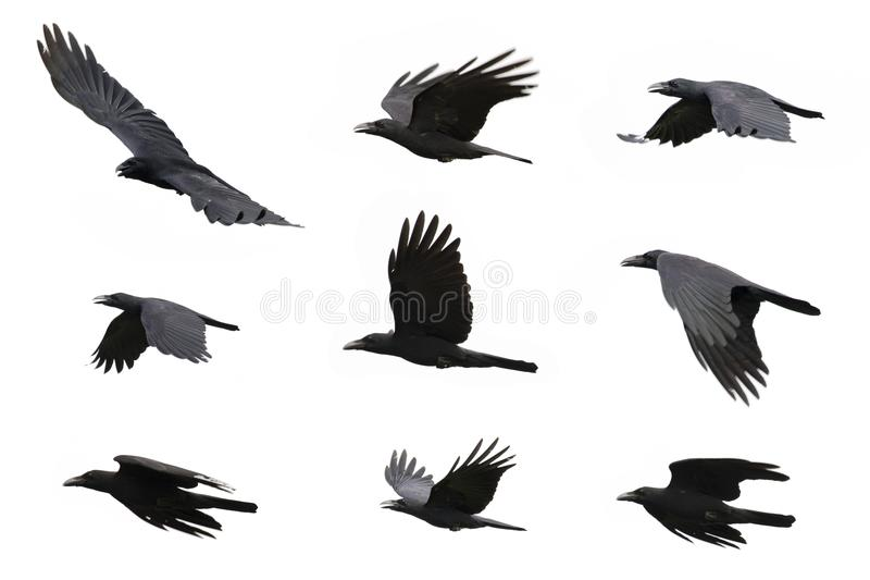Group of black crow flying on white background. Animal. royalty free stock photos