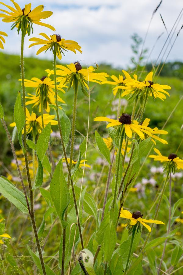 A Group Black-eyed Susan Wildflowers. A vertical view of a group of Black-eyed Susan wildflowers located in a field of the Blue Ridge Mountains, Virginia, USA stock images
