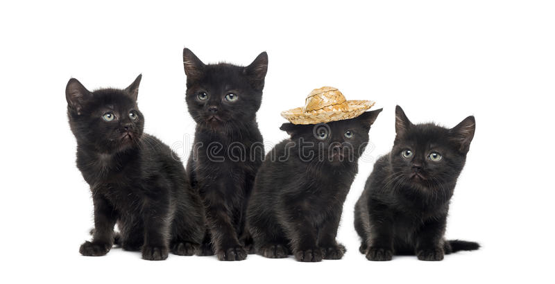 Group of a black kitten. Isolated on white stock image