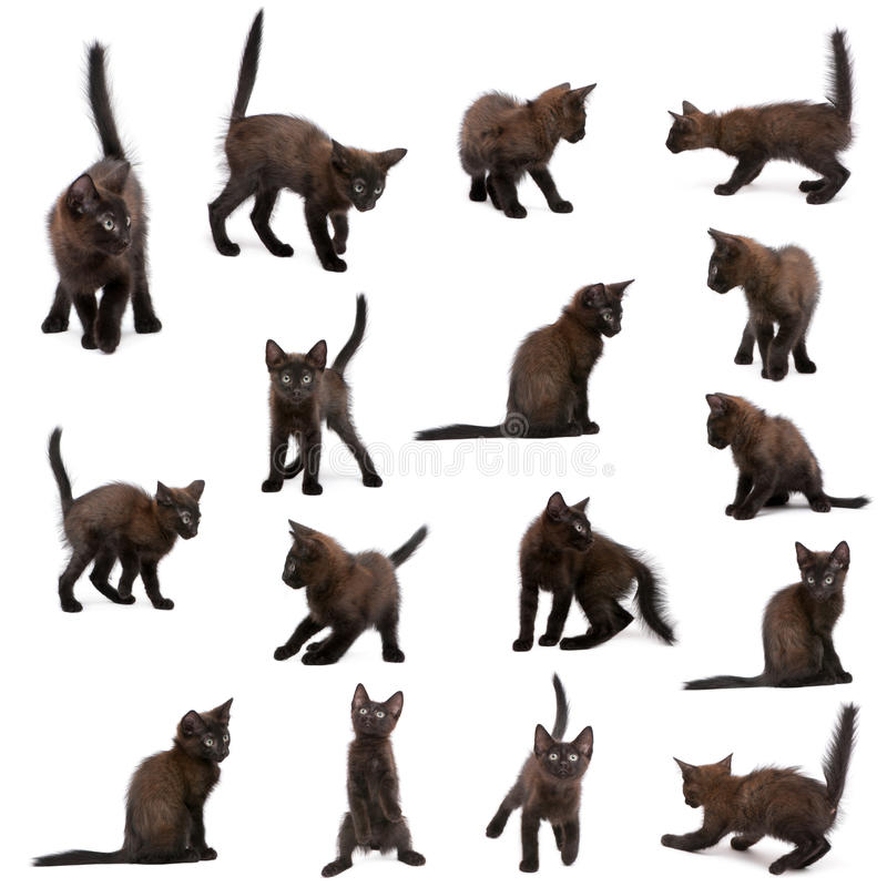 Group of black kittens. In front of white background royalty free stock images