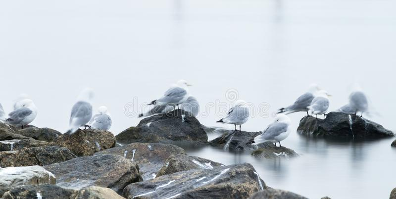 Group of black-legged kittiwake (Rissa tridactyla) resting - sleeping on the rocks very early in the morning at the port of royalty free stock images