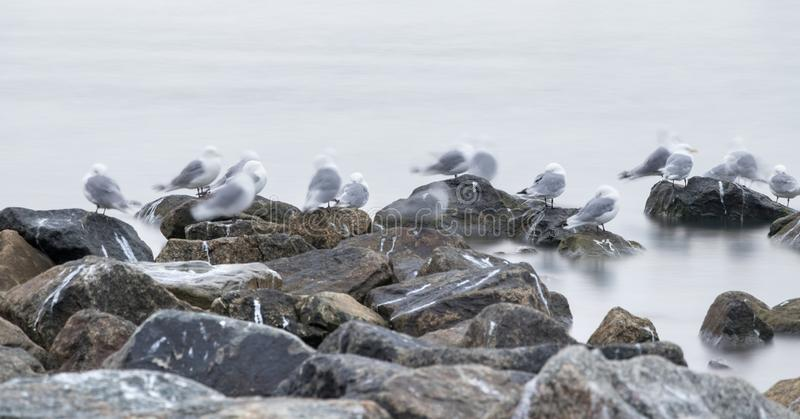 Group of black-legged kittiwake (Rissa tridactyla) resting - sleeping on the rocks very early in the morning at the port of royalty free stock photography