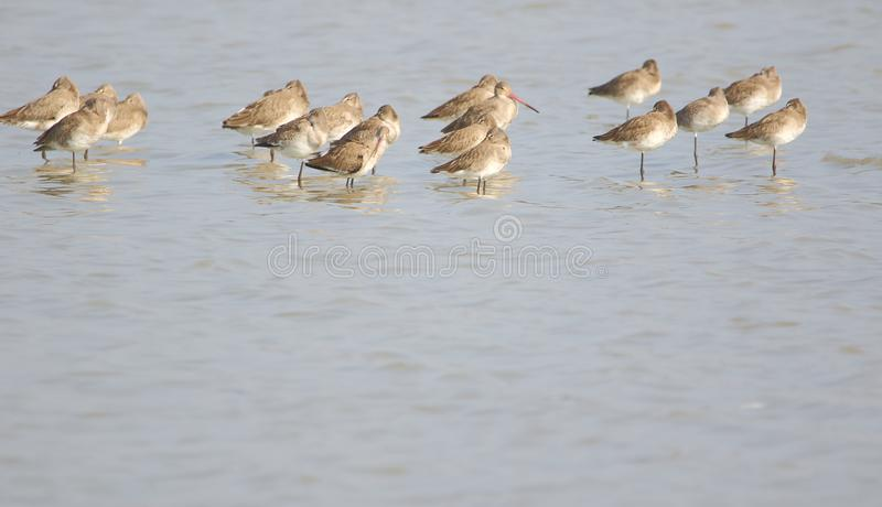 Group of black tailed godwit bird in water stock photography