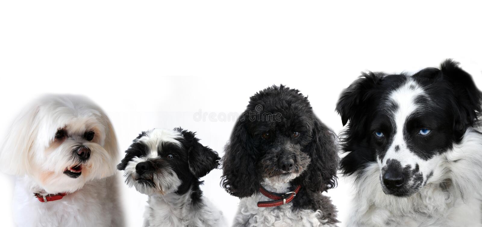 Group of black and white dogs stock photo