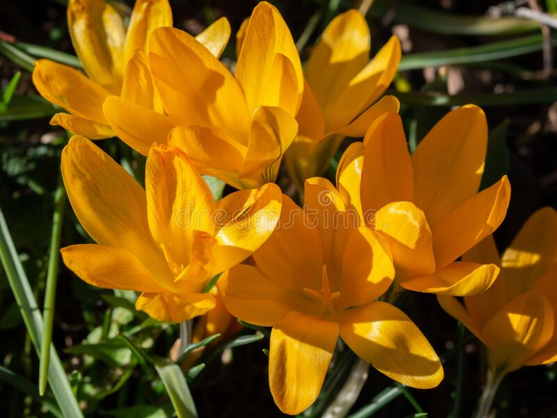 Group of blooming yellow crocus in meadow. In springtime stock photos