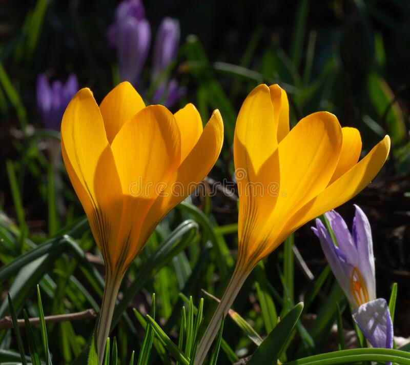 Group of blooming yellow crocus in meadow. In spring royalty free stock photography