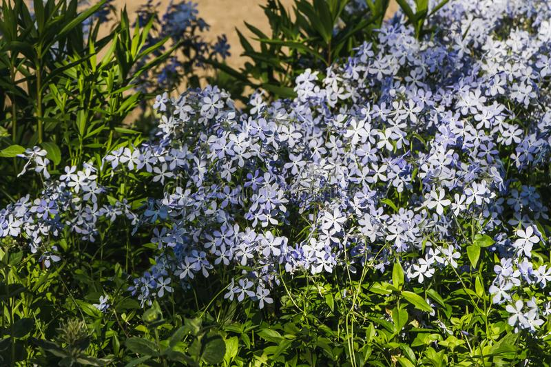 A group of blue flowers wild blue phlox or woodland phlox or wild sweet william with with green buds and leaves is on a. A group of blue flowers wild blue phlox stock image