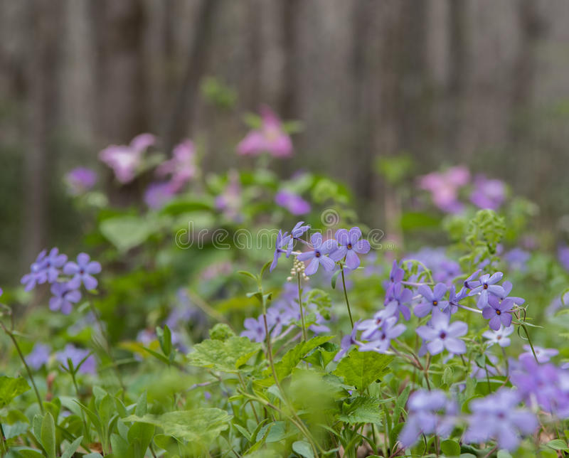 Group of Blue Phlox Blooms. On forest floor in spring stock photo