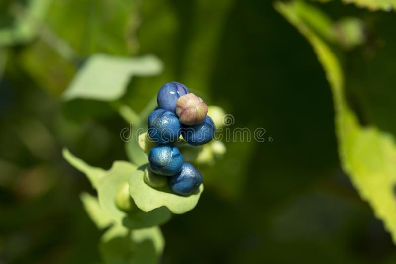 Blue and white berries on bush stock images
