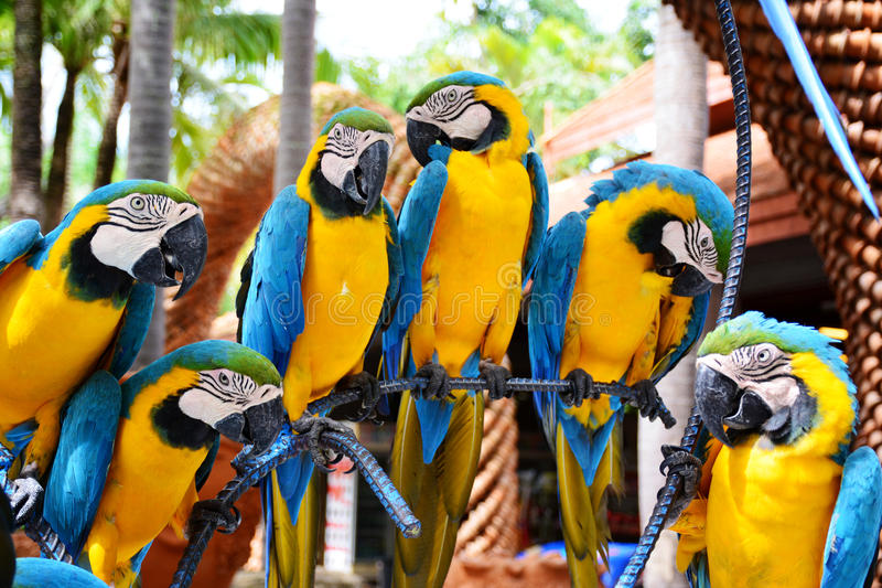 Group of blue and yellow macaw birds. stock photos