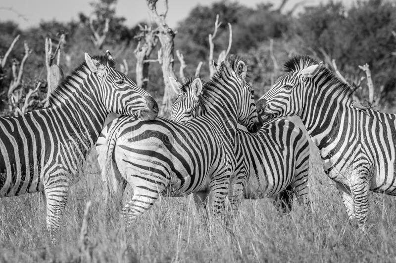 Group of bonding Zebras in black and white. royalty free stock photos