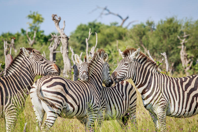 Group of bonding Zebras in Chobe. stock photos