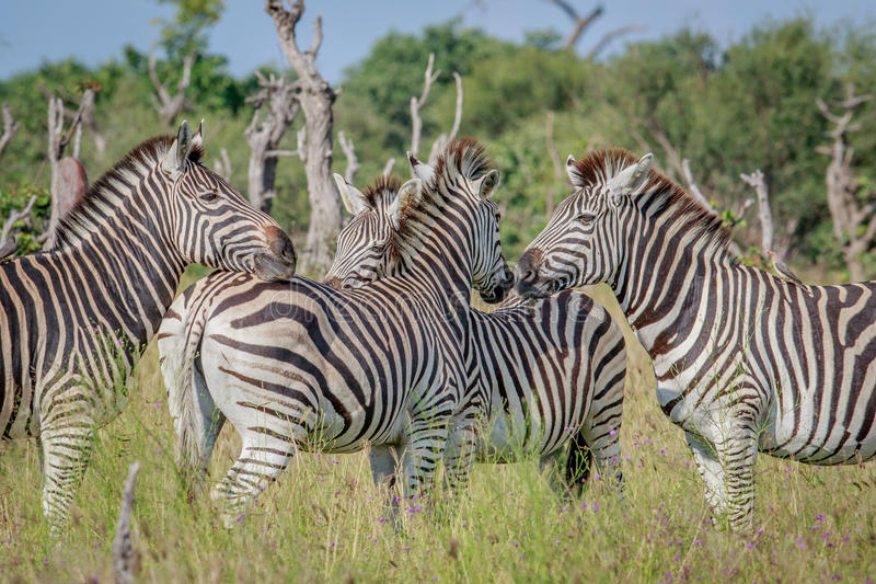 Group of bonding Zebras in Chobe. royalty free stock image