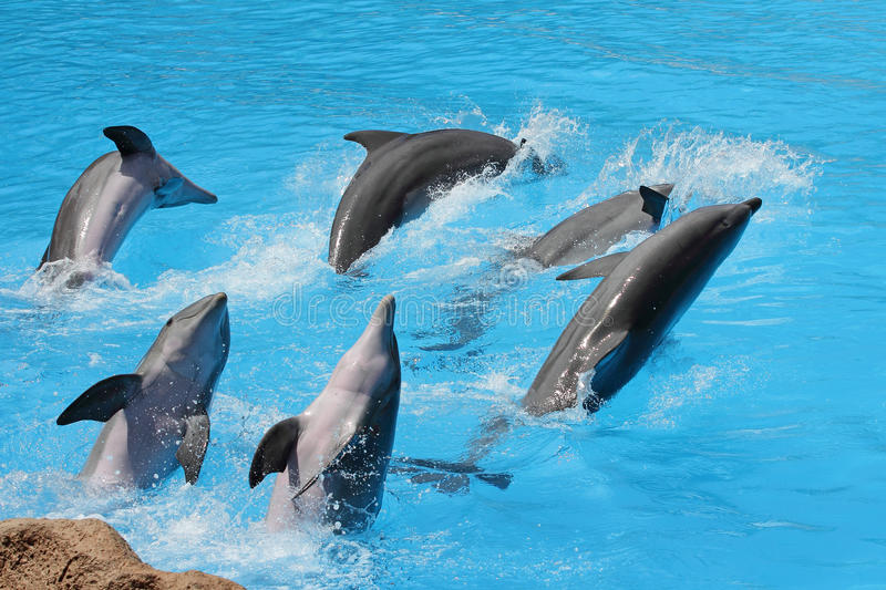Group of bottlenose dolphins. A group of bottlenose dolphins ( Tursiops truncatus) diving out of the water royalty free stock images