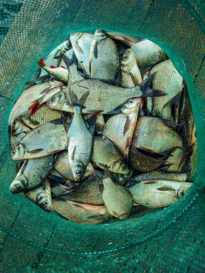 Group of the bream fishes laying in the fishing net. stock photos