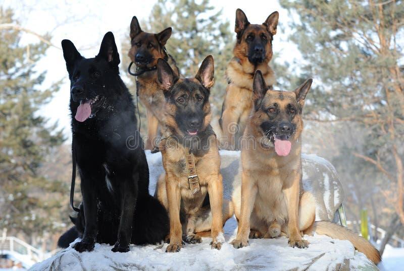 Group breed German Shepherd sitting royalty free stock images