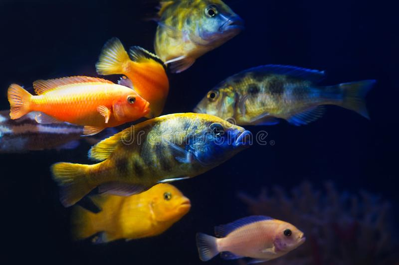 Group of bright and colorful lake Malawi cichlids in biotope aquarium, aggressive and healthy freshwater fish on dark background stock image