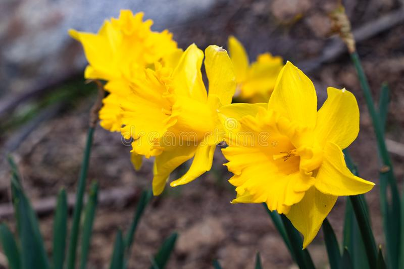 Group of bright, happy, cheerful, yellow gold spring Easter daffodil bulbs blooming in outside garden in springtime stock photos
