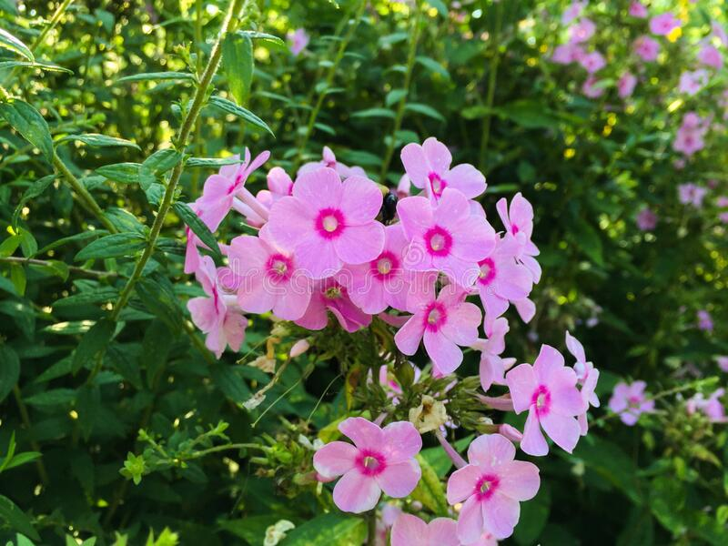 Group of Bright Pink Flowers stock images
