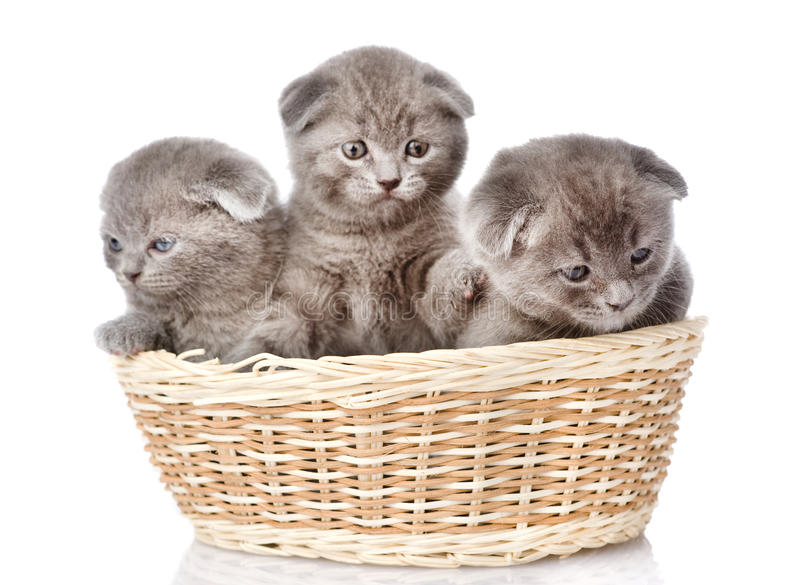 Group british shorthair kittens in basket. isolated on white stock photography
