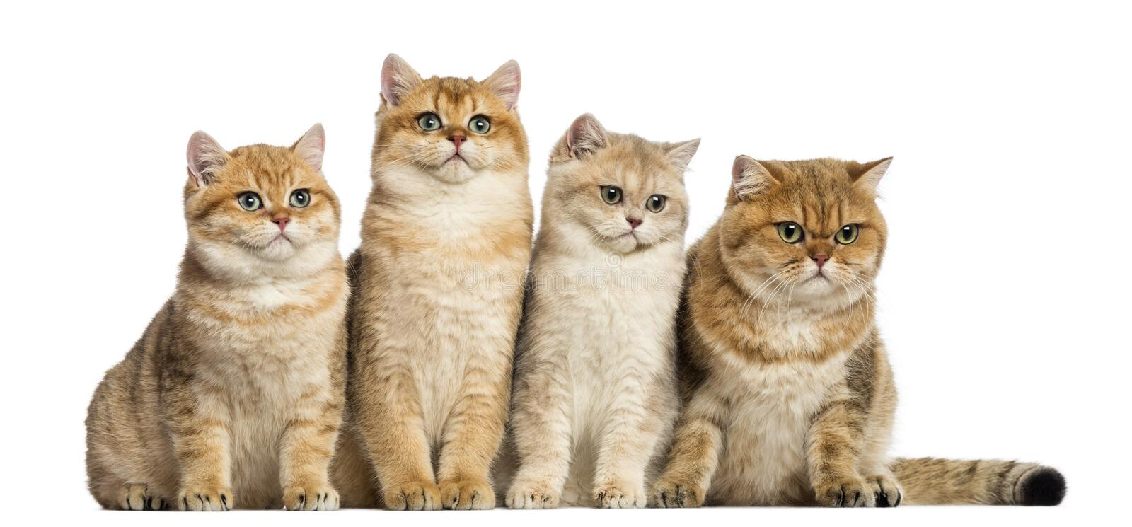 Group of British shorthair sitting in a row,. Isolated on white royalty free stock image