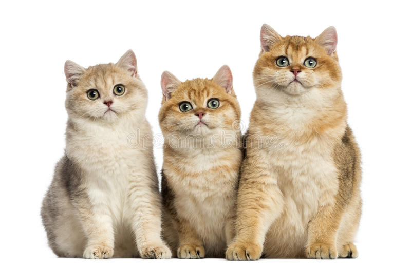 Group of British shorthair sitting in a row,. Isolated on white royalty free stock images
