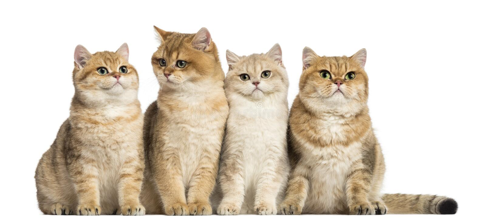 Group of British shorthair sitting in a row, isolated royalty free stock images