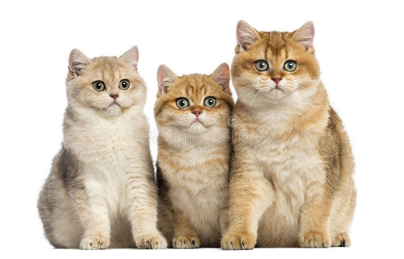 Group of British shorthair sitting in a row, royalty free stock photos