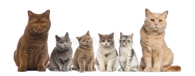 Group of British Shorthairs sitting stock image