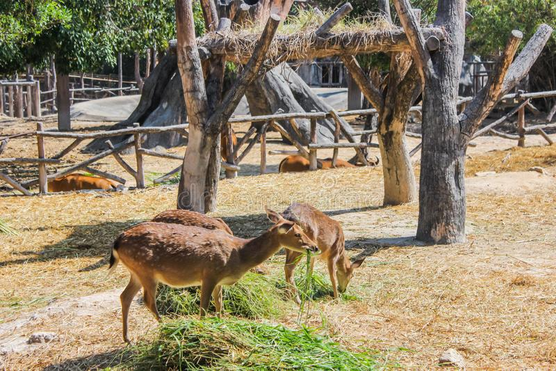 Group brown deer female and male full grown at eating grass fresh and hay in natural zoo and popular tourist destination.  royalty free stock photo