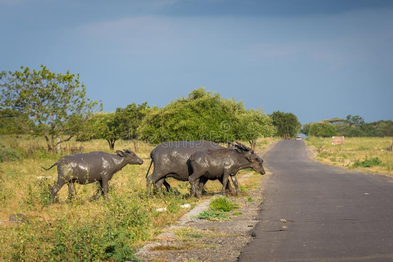 A group of buffalo on their natural habitat, Savanna Bekol, Baluran. aluran National Park is a forest preservation area that. Extends about 25.000 ha on the royalty free stock photo