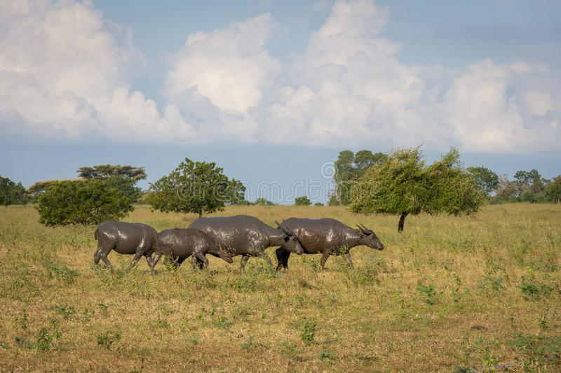 A group of buffalo on their natural habitat, Savanna Bekol, Baluran. aluran National Park is a forest preservation area that. Extends about 25.000 ha on the stock images