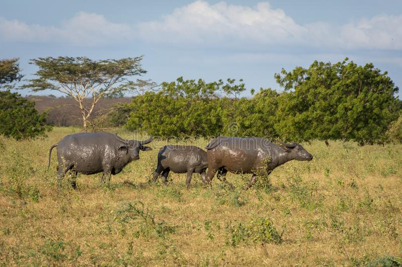 A group of buffalo on their natural habitat, Savanna Bekol, Baluran. aluran National Park is a forest preservation area that. Extends about 25.000 ha on the royalty free stock images