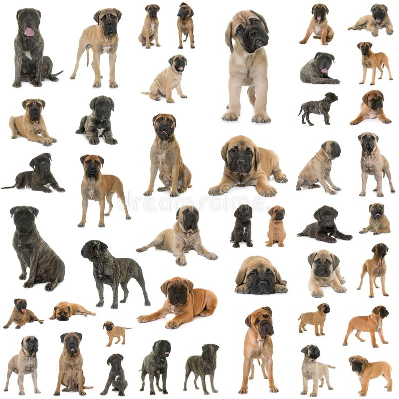 Group of bullmastiff stock image