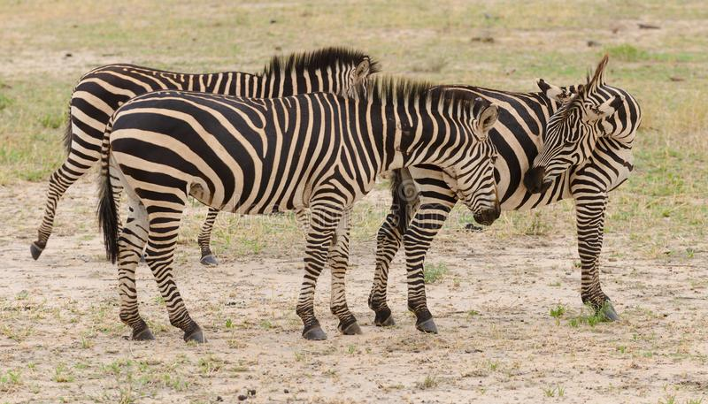 Group of Burchell`s zebra royalty free stock image