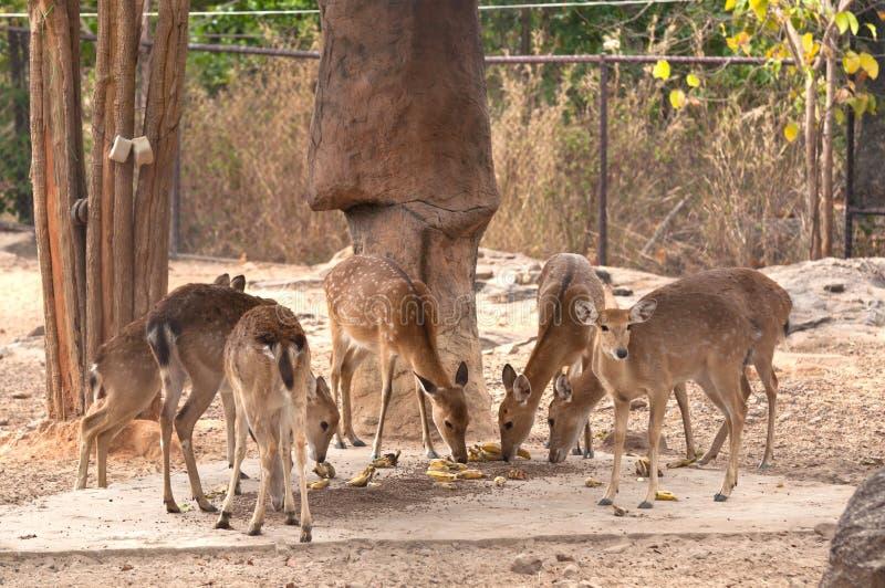 A Group of Burmese Brow-Antlered Deer. In Kaosuankwang zoo, Khonkaen, Northeastern Thailand stock photo
