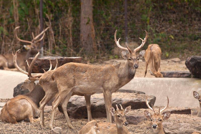 A Group of Burmese Brow-Antlered Deer. In Kaosuankwang zoo, Khonkaen, Northeastern Thailand stock photos