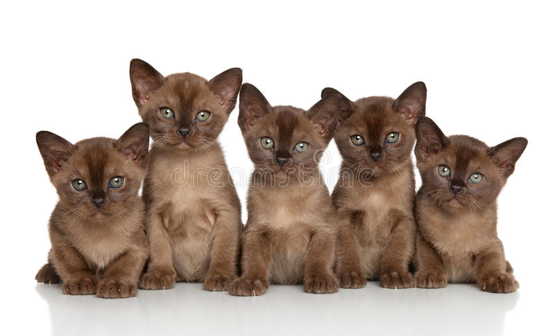 Group of Burmese kittens royalty free stock images