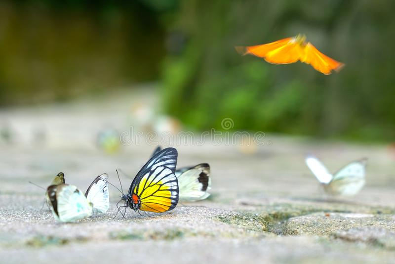 Group of butterflies on the ground. Group of multi colored butterflies with focus on Painted Jezebel stock image