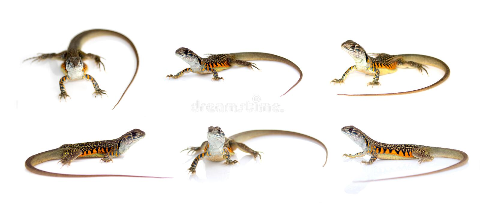 Group of butterfly agama lizard Leiolepis Cuvier isolated on a white background. Reptile. Animal.  royalty free illustration