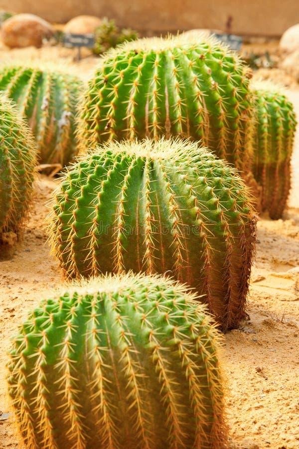 Download Group of cactus stock photo. Image of botanical, life - 23962096