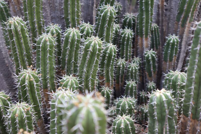 Group of cactus in the arid zone of Morocco royalty free stock photography