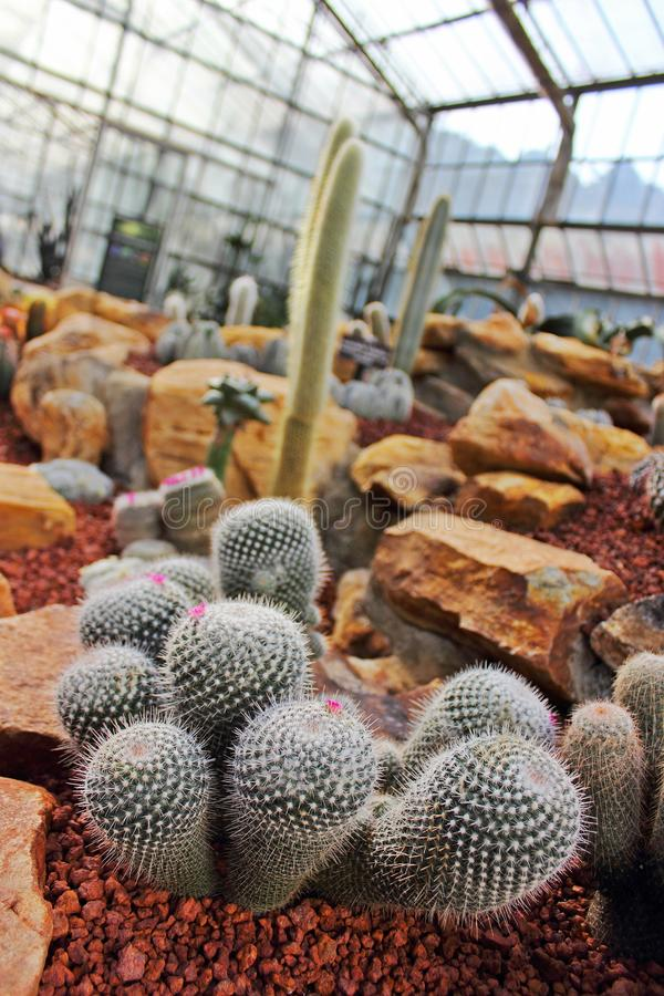 Group of Cactus in Botanic garden. Group of Cactus with small pink flowers in Botanic garden royalty free stock image