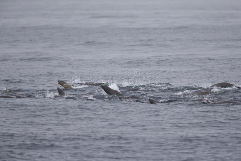 A group of California sea lions  swimming and hunting at Monterey bay California. stock image
