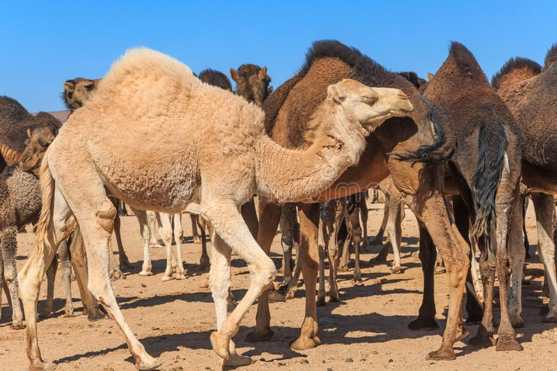 Group of camels in desert royalty free stock photo
